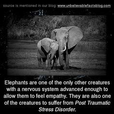 """unbelievable-facts: """"Elephants are one of the only other creatures with a nervous system advanced enough to allow them to feel empathy. They are also one of the creatures to suffer from Post Traumatic Stress Disorder """" Elephant Quotes, Elephant Facts, Elephant Love, Elephant Spirit Animal, Animal Facts, Animal Quotes, My Animal, Animal Memes, Nature Animals"""