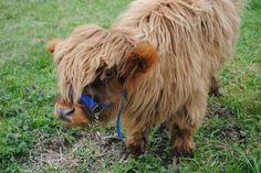 Moshi, Mini Scottish Highland cow