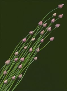 Chive by horticultural art