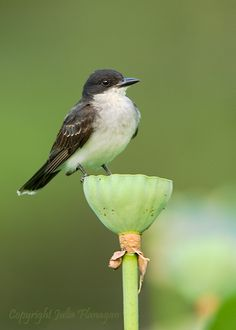 Scrapper the Kingbird, called the Bee Martin. He has a small hook in his beak for catching bees. He catches mostly drones (non-worker bees) and eats all insects. Has better eyesight than the hawk. He came to the rescue of the tree swallow's eggs by pecking savagely at the black snake.