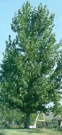 The Hybrid Poplar (Populus x canadensis Robusta) is a fast growing shade tree that is also called a Seedless Cottonwod.