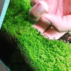 Freshwater Aquarium Plants: Guide How To Carpeting Aquarium With Hemianthus Callitrichoides Aka Cuba. Complete from A to Z, please read more information about planting Dwarf Baby Tears in Aquarium. Aquarium Garden, Aquarium Landscape, Tropical Fish Aquarium, Nano Aquarium, Aquarium Design, Aquarium Fish Tank, Planted Aquarium, Aquarium Aquascape, Tropical Fish Tanks