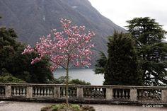https://flic.kr/p/eoagiF | Magnolia à Castagnola, au-dessus du Lago di Lugano (2013-04-05 -05) | Castagnola, Ticino, Svizzera