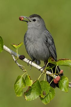 The Gray Catbird (Dumetella carolinensis), also spelled Grey Catbird, is a medium-sized northern American perching bird of the mimid family. Native to most of temperate North America east of the Rocky Mountains, Gray Catbirds migrate to the southeastern United States, Mexico, Central America, and the Caribbean in winter.