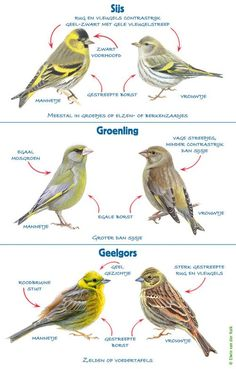 Beautiful Birds, Animals Beautiful, Bird Identification, Canary Birds, Birds In The Sky, Garden Animals, Bird Illustration, Bird Pictures, Vintage Birds