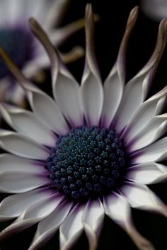 ~~African Daisy by GOR44photographic~~