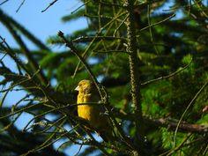 Dzwoniec European greenfinch Greenfinch, Bird Feeders, Wordpress, Outdoor Decor, Animals, Fotografia, Animales, Animaux, Animal