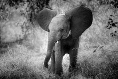 CUTENESS - Baby elephant, Mashatu, Botswana.
