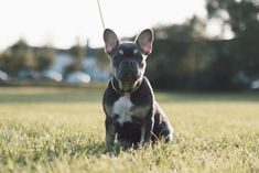French Bulldog Buy A Dog, Pet Lovers, Parrots, South Africa, Dogs And Puppies, French Bulldog, Pets, Animals, Lakes