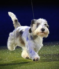 A Petit Basset Griffon Vendeen called Jilly on Sunday won the Best in Show award at Britain's Crufts festival, the world's largest annual dog show. Petit Basset Griffon Vendeen, Griffon Dog, Pet Dogs, Dog Cat, Adorable Dogs, Hound Dog, Hunting Dogs, Dog Show, Cool Pets