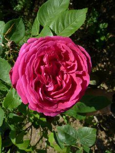 'Yolande d'Aragon' | Damask Perpetual, Hybrid Perpetual Rose. Jean-Pierre Vibert, 1843 | Flickr - © Paco Garin