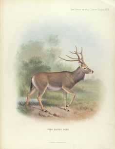 Père David's Deer. From New York Public Library Digital Collections.