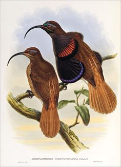 Richard Bowdler Sharpe_ Birds of paradise 13