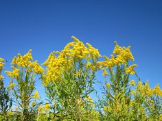 Goldenrod Essential Oil Solidago canadensis Known Uses Goldenrod's scientific name Solidago is derived from the Latin word meaning 'to make whole' bec. Medicinal Weeds, Off The Grid News, Seasonal Allergies, Natural Medicine, Native Plants, World Traveler, Gardening Tips, Planting Flowers, Essential Oils
