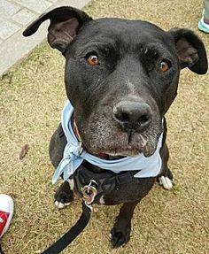 Pit Bull Terrier Dog for adoption in Dallas, Georgia - Mira