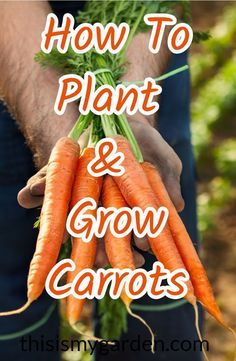 Everything you need to know about planting, growing, and harvesting carrots. #carrots #vegetable #garden #gardening #organic #thisismygarden
