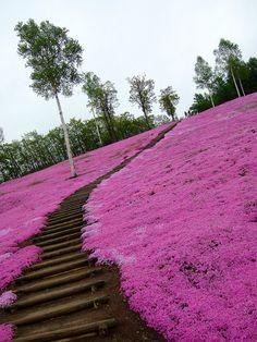 Pink carpet - Moss Phlox in Takinoue Park, Hokkaido, Japan Beautiful World, Beautiful Gardens, Love Flowers, Beautiful Flowers, Wonderful Places, Beautiful Places, Moss Phlox, Stairway To Heaven, Belle Photo