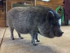 Mr. Piggles. The pot-bellied pig from Florida!