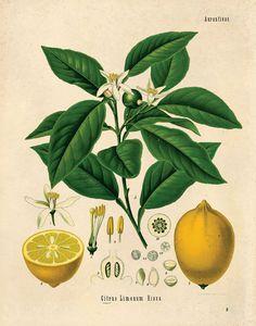 Vintage Botanical Lemon Citrus Print. Educational Chart Diagram Poster Pull Down Chart from Kohler's Citrus Tree Botanical Poster- CP236