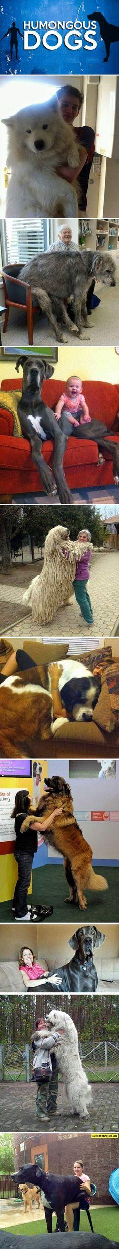 Humongous Dogs…love the sammy and the Komondor