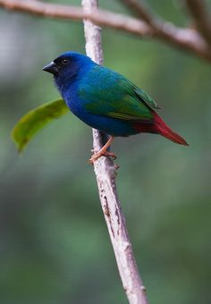 The Tricoloured Parrotfinch (Erythrura tricolor) is a species of estrildid finch found in Indonesia & East Timor. It is found in subtropical/ tropical dry forest & dry savanna. Photo by secondclaw