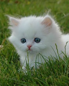 About the Persian Cat - Cat's Nine Lives Cute Cats And Kittens, Baby Cats, Kittens Cutest, Pretty Cats, Beautiful Cats, Cute Baby Animals, Funny Animals, Cutest Cats Ever, Cat Photography