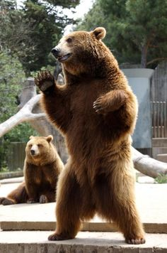 grizzly bear waves at girl
