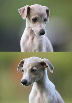 Own a whippet