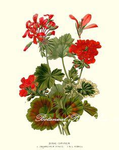 "Botanische Print. Geranium. Pelargonium. Rode bloem Print. 5 x 7"", 8 x 10"", 11 x 14"", 13 x 19"""