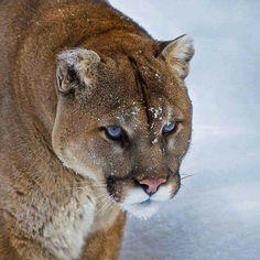 full grown cougar