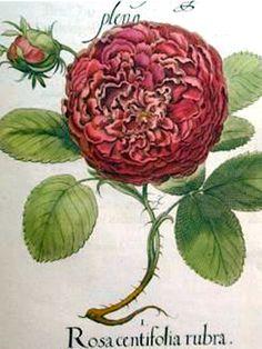 "Rosa centifolia rubra from ""Colorado Antique Lover's Guide"" Vintage Botanical Prints, Botanical Drawings, Botanical Illustration, Illustration Art, Flower Prints, Flower Art, Rose Prints, Art Flowers, Botanical Flowers"
