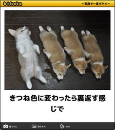 きつね色に変わったら裏返す感じで Cute Funny Animals, Funny Animal Pictures, Cute Baby Animals, Funny Cute, Funny Photos, Animals And Pets, Cute Corgi, Corgi Dog, Dog Cat