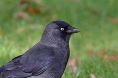 Kauwenogen spreken boekdelen Onderzoekers aan de universiteit van Cambridge en Exeter toonden aan dat Kauwen met hun opvallende ogen kunnen communiceren. De Kauw is de eerste vogel waarbij dit gedrag …
