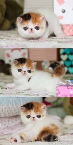 exotic shorthairs are adorable