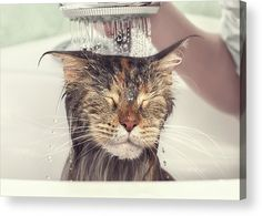 Cat Acrylic Print featuring the photograph Wet Cat In The Bath by Oleg Nikiforov. Fineartamerica. Canvas Prints, Framed Prints, Acrylic Prints, Metal Prints, Posters, and More!