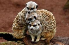 Three scoops of meerkats.