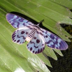 Blue day moth (Dysphania palmyra) is a day fling moth belongs to the Family Geometridae. Flying Insects, Bugs And Insects, Beautiful Bugs, Beautiful Butterflies, Cute Moth, Cool Bugs, Flying Flowers, Moth Caterpillar, Wild Ones