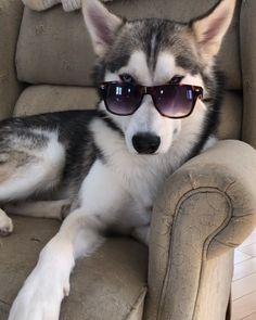 Life with a Siberian husky Husky Humor, Cute Funny Animals, Cute Baby Animals, Funny Dogs, Funny Dog Videos, Akita Dog, White Siberian Husky Puppy, Siberian Husky For Sale, Siberian Husky Training