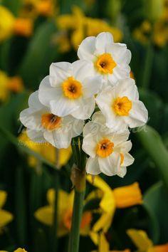 Daffodil - Geranium