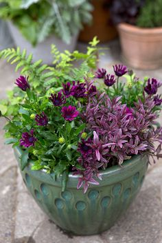 Pot of the month: May. Contains Dryopteris affinis, purple osteospermum and Hebe 'Heartbreaker'. Photo by Sarah Cuttle. For a similar pot display, visit http://www.gardenersworld.com/plants/pots-containers/shade-loving/begonia-and-fern-pot-display/1140.html