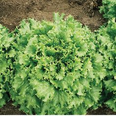 Aquaponics For Sale Info: 7915866259 Aquaponics Kit, Hydroponics, Aquaponics Garden, Lactuca Sativa, Lettuce Seeds, Hydroponic Growing, Leaf Texture, Organic Seeds, Medicinal Herbs