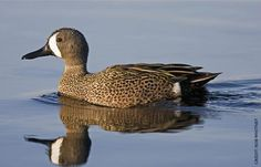 Blue-winged Teal Facts, Figures, Description and Photo