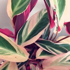 New addition to the family! I got myself a #calathea triostar. Aren't the leaves beautiful? I really couldn't resist one after seeing it at @herz.und.blut and @houseplantjournal accounts! by carolinabuzio