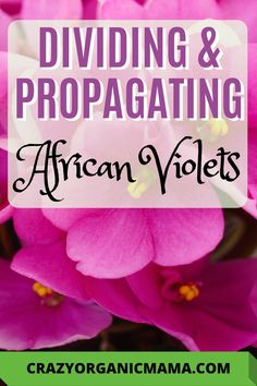 Learn the easy step-by-step way to divide African violet plants and propagate new plants simply from just a leaf cutting. House Plants Decor, Plant Decor, Easy Care Houseplants, Planting For Kids, Organic Gardening Tips, Indoor Gardening, Violet Plant, Large Flower Pots, Plant Crafts