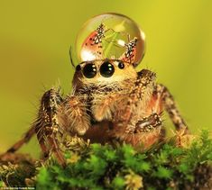 In fashion: The latest range of water ware is unlikely to catch on among the jumping spiders, which when unencumbered by large water droplets, possess incredible agility. Photo by Uda Dennie, Indonesia.
