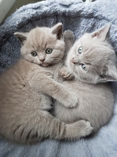 Pedigree British Shorthair Kittens GCCF REG   Stone, Staffordshire   Pets4Homes Pet Breeds, Cute Cat Breeds, Puppy Breeds, Tiny Cats, Cute Cats And Dogs, Cats And Kittens, Cat Skin, British Shorthair Kittens, Cute Kittens