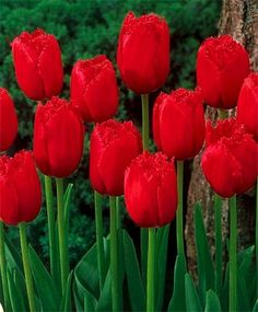 Tulip Burgundy Lace - Fringed - Tulips - Flower Bulbs Index