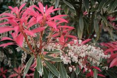 Pieris Flaming Silver is a small, evergreen shrub, with bright red young foliage bright red, becoming green, boldly margined with silvery-white. Deer Resistant Shrubs, Evergreen Shrubs, Small Trees, Landscaping Plants, Creamy White, Perennials, Garden Design, Yard, Shades