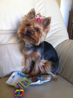 """Visit our website for even more details on """"yorkshire terrier puppies"""". It is an excellent spot to get more information. Teacup Yorkie, Yorkie Puppy, Yorkie Cuts, Toy Yorkshire Terrier, Yorshire Terrier, Silky Terrier, Brave, Bulldog Breeds, Yorky"""