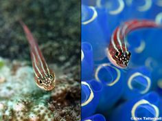 Thoughts on minimising environmental impact in underwater macro photography - Alex Tattersall